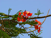 Royal Poinciana (Delonix regia) - national flower of Madagascar. Photo by Dinesh Valke